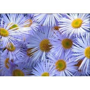 Chamomile Blue (Matricaria Chamomilla)