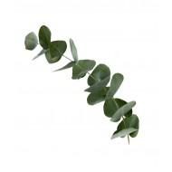 Eucalyptus 80/85 (Eucalyptus Globulus)