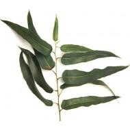 Eucalyptus Citriodora (Eucalyptus Citriodora)