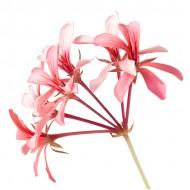 Geranium Bourbon (Pelargonium Graveolens)