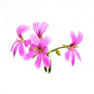 Geranium Rose (Pelargonium Graveolens)