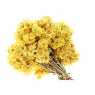 Immortelle (Helichrysum Angustifolium)