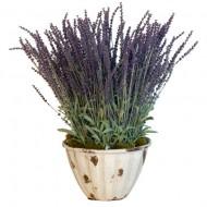 Lavender French (Lavendula Angustifolia)
