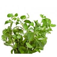 Marjoram Spanish (Thymus Masticina)