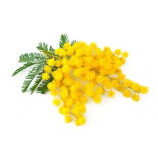Mimosa (Acacia Dealbata)