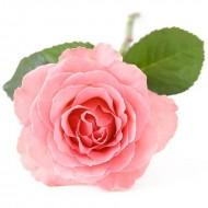 Rose Otto (Rosa Damascene)