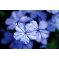 Yarrow Blue (Achillea Millefolium)