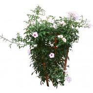 Jasmin (jasminum grandilorum)