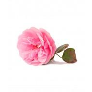 Rose 5%